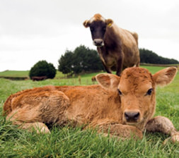 Magnesium in Cattle