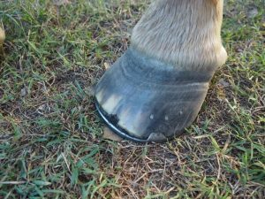 Signs Of Laminitis What Are The Most Common Signs Of